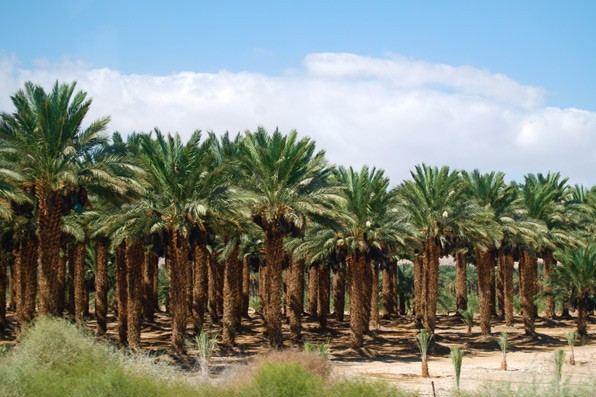 DatePalms-SalmanalFarsiRAw