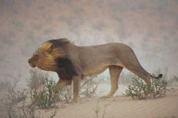 Jafar-asSiddiqRA_lionw