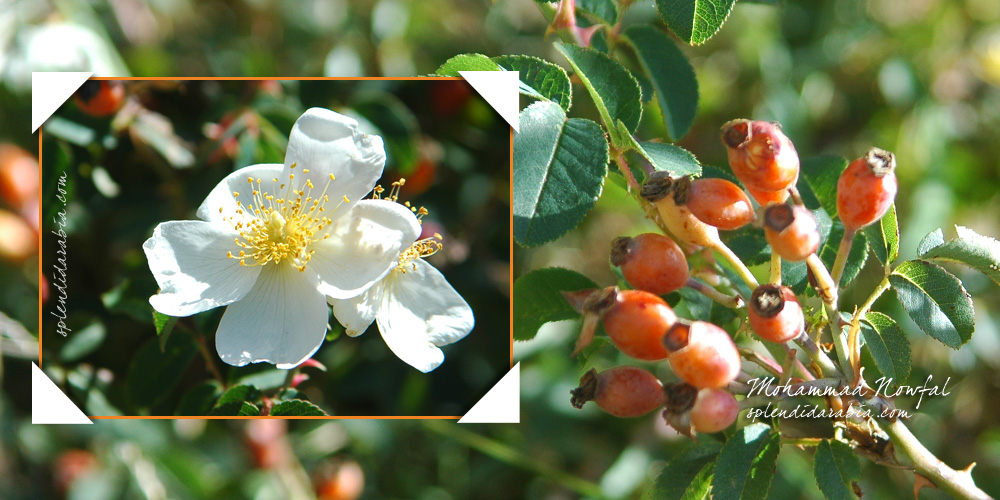 Rosa-abyssinica1